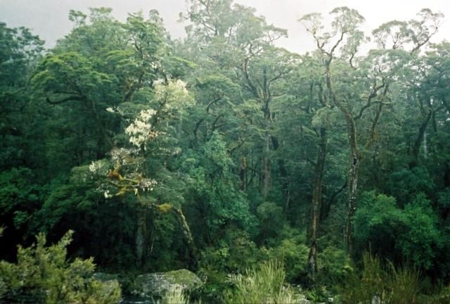Milford Track rainforest