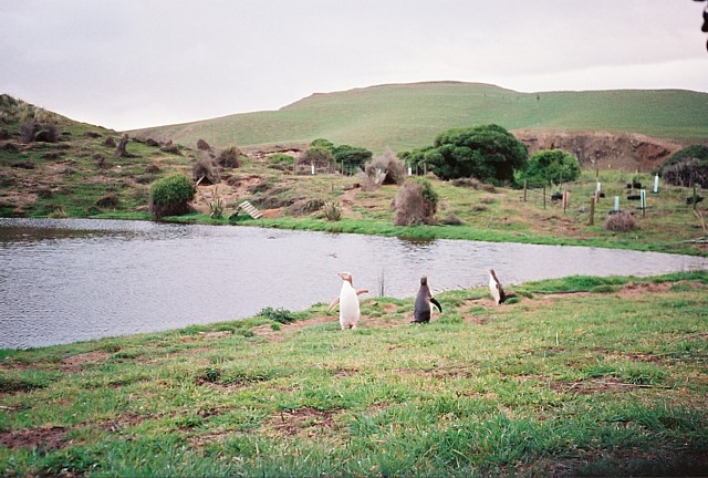 Yellow-eyed penguins at Penguin Place